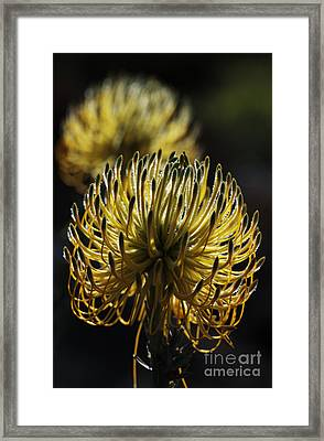 Rocket Pincushion Protea Framed Print by Neil Overy