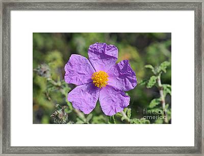 Framed Print featuring the photograph Rockrose Flower by George Atsametakis