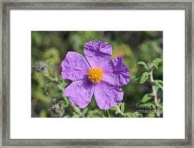Rockrose Flower Framed Print by George Atsametakis