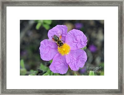 Rockrose Flower With Bee Framed Print by George Atsametakis