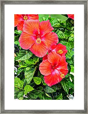 Rocky Hill Hibiscus Framed Print