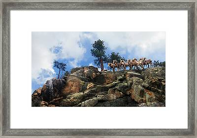 Rocky Mountain Big Horn Herd Framed Print by Ric Soulen