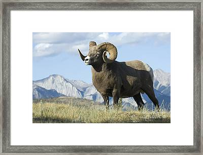 Rocky Mountain Big Horn Sheep Framed Print by Bob Christopher