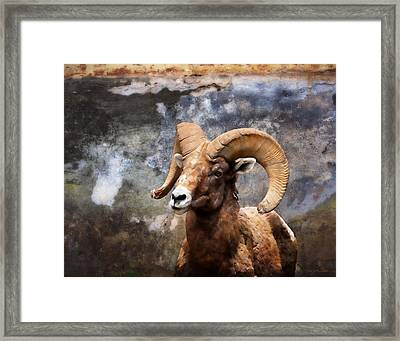 Rocky Mountain Bighorn Sheep In Colorado Framed Print by Julie Magers Soulen