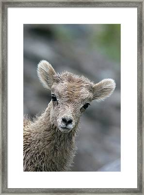 Rocky Mountain Bighorn Sheep Lamb Framed Print by Ken Archer