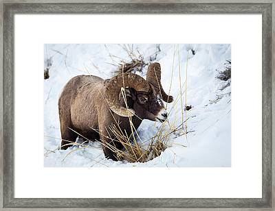 Rocky Mountain Bighorn Sheep Framed Print