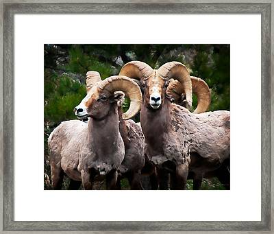 Rocky Mountain Bighorn Sheep Rams In Colorado Framed Print by Julie Magers Soulen