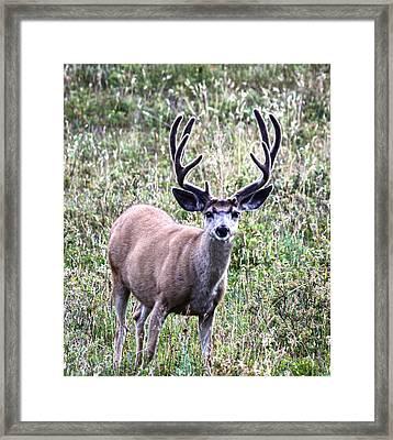 Rocky Mountain Buck Framed Print