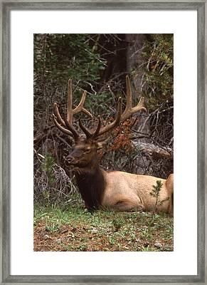 Rocky Mountain Bull Elk Framed Print by T C Brown