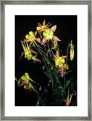 Rocky Mountain Columbine Flowers Framed Print by Brian Gadsby/science Photo Library