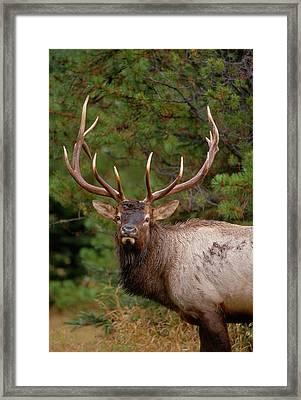 Rocky Mountain Elk (cervus Canadensis Framed Print