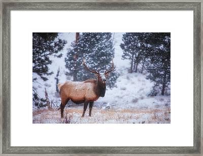 Rocky Mountain Elk Framed Print by Darren  White