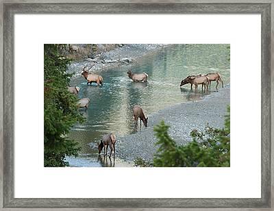 Rocky Mountain Elk Herd Crossing Framed Print by Ken Archer