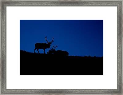 Rocky Mountain Elk Framed Print by Jeff Nelson