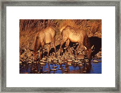Rocky Mountain Elk Framed Print by T C Brown