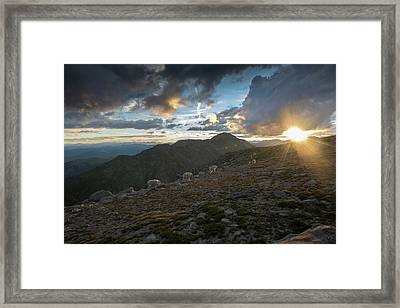 Rocky Mountain Goats In Mount Evans Framed Print by Bob Smith