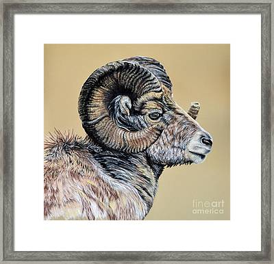 Rocky Mountain Ram Framed Print by Ann Marie Chaffin