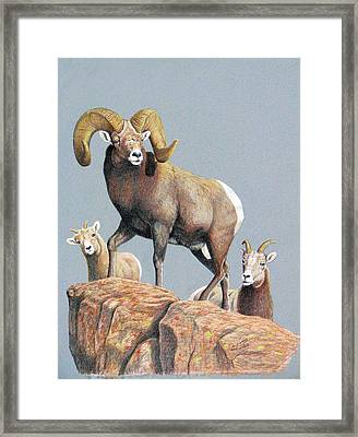 Rocky Mountain Ram Ewe And Lamb Framed Print