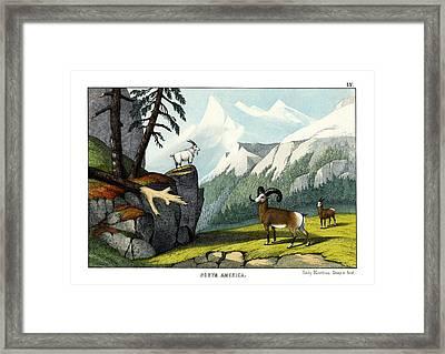 Rocky Mountain Sheep Framed Print by Splendid Art Prints