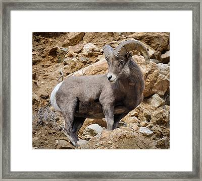 Framed Print featuring the photograph Rocky Ram by Kevin Munro