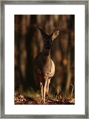 Roe Deer Female Framed Print
