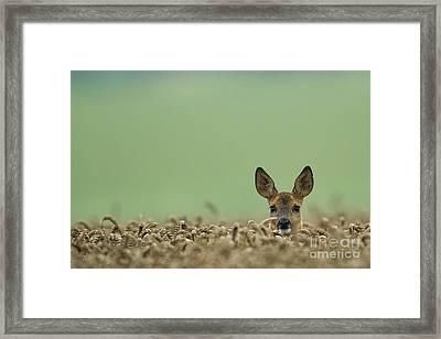 Roe Deer In A Field Framed Print