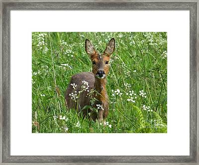 Roe Doe Early Summer Framed Print by Phil Banks