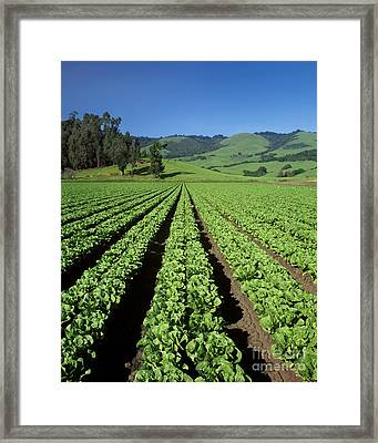 Romaine Lettuce Field Framed Print by Craig Lovell
