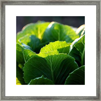 Romaine Study Framed Print by Angela Rath