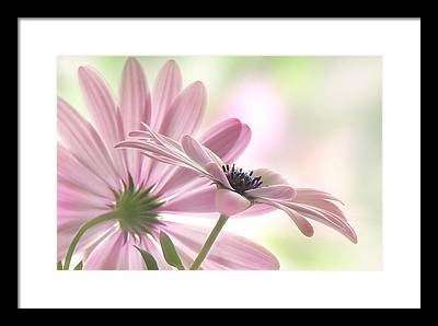 Daisy Framed Prints