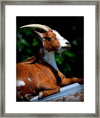 Rooftop Tanning Framed Print by Mary Beth Landis