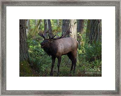 Roosevelt Elk Bugling Framed Print by Mike Dawson