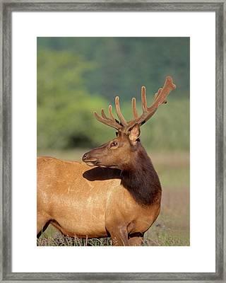 Roosevelt Elk (cervus Canadensis Framed Print