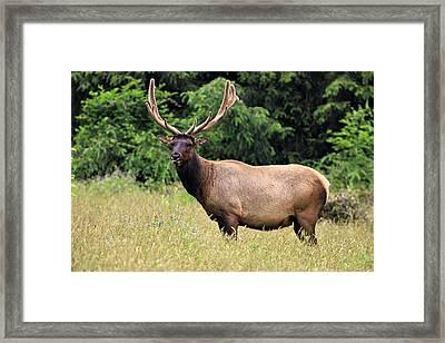 Roosevelt Elk Framed Print