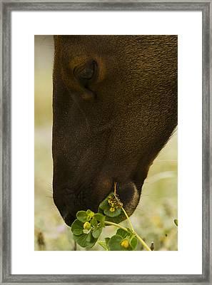 Roosevelt Elk Solemnly Feeding On The Beach Framed Print