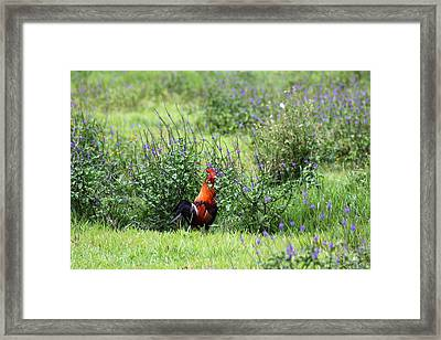 Rooster Country Framed Print by Ange Sylvestri