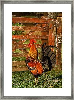 Rooster Crowing Framed Print by Ron Sanford