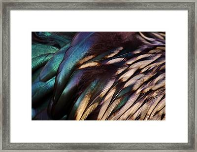 Rooster Feathers Framed Print by Paulette Thomas