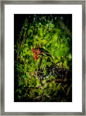 Rooster In A Tree Framed Print