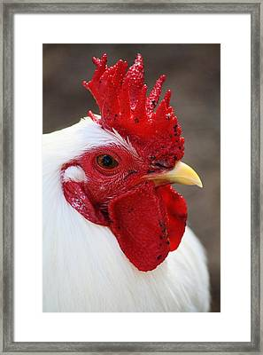 Rooster Framed Print by Paulette Thomas