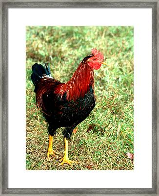 Framed Print featuring the photograph Rooster Red by Lesa Fine