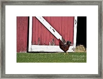 Rooster Strut Framed Print