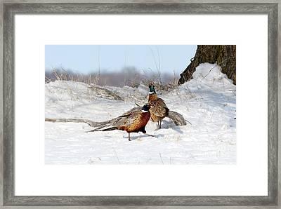 Roosters Framed Print by Lori Tordsen