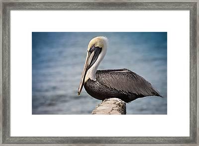 Roosting Pelican Framed Print
