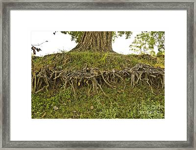 Root System Of Fig Tree Framed Print by Image World
