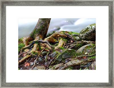 Roots By The Stream Framed Print by Nancy Mueller