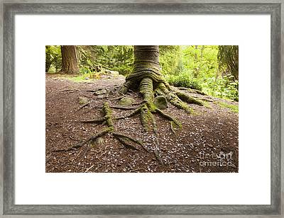 Roots Of Monkey Puzzle Tree Framed Print by Colin and Linda McKie