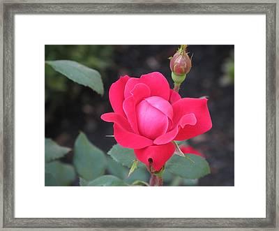 Ro's Last Rose Of Summer Framed Print