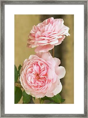 Rosa 'a Shropshire Lad' Framed Print by Adrian Thomas