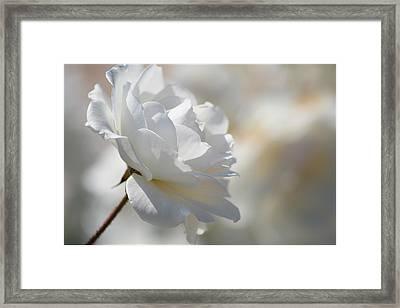 Rosa Blanca 8 Framed Print by Mirza Ajanovic